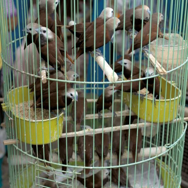 Drobne ptaki, takie jak nektarniki, mniszki czy szlarniki, przetrzymywane są w drastycznie przegęszczonych klatkach. Stan zdrowia ptaków pozostawia wiele do życzenia, konające na dnie klatki osobniki nie należą do rzadkich widoków.