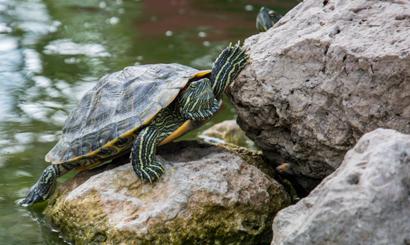 Turtle ikwp