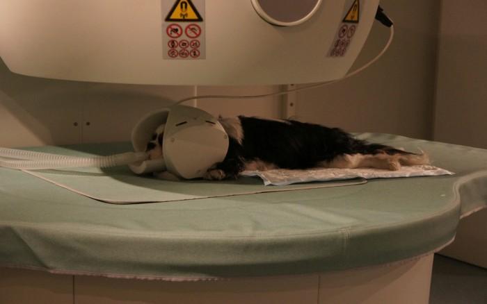 Fot. 4. Pacjent podczas badania MRI. Widoczna cewka głowowa, stanowiąca cewkę odbiorczą.