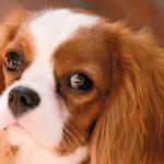 Syringohydromyelia i malformacja Arnolda-Chiariego u psów rasy cavalier king charles spaniel – cz. I