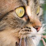 Koty kontrolują myszy za pomocą felininy