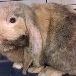 Inwazje pierwotniaków u królików domowych