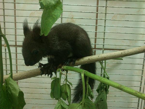 Prosty zabieg w postaci ułożenia gałęzi w klatce wiewiórki pozwala dać jej choć namiastkę naturalnych warunków.