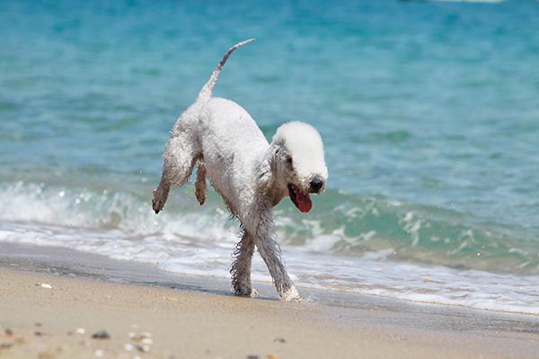 drôle d'allure du bedlington terrier