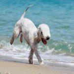 Bedlington terrier – terrier o wyglądzie owieczki