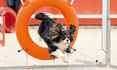 jumping cavalier king charles