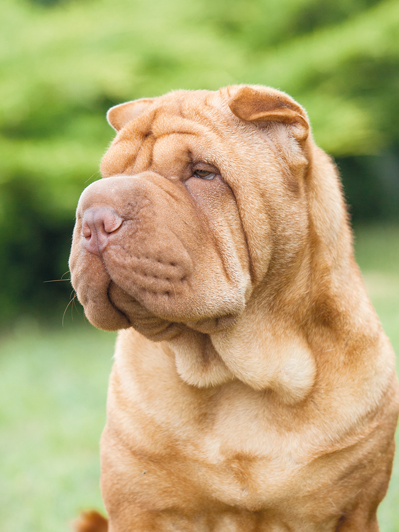 Portrait of a purebred dog Chinese Shar-Pei on a green backgrou