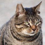 Otyłość u kotów