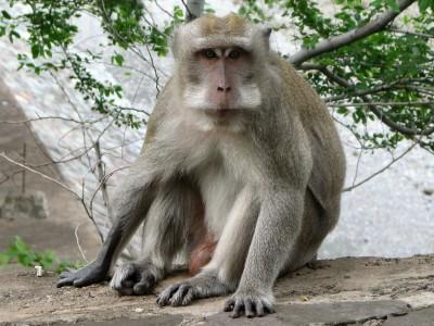 Macaque_a_longue_queue