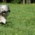 Pyłki roślin jako alergeny w atopowym zapaleniu skóry u psów