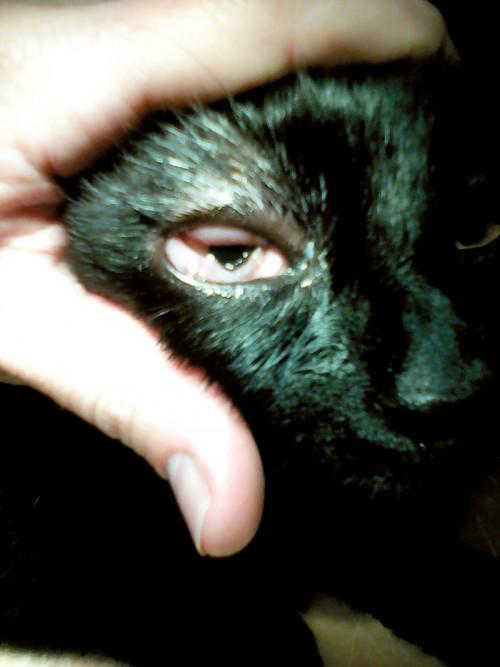 Fot. 2. Przypadek 1. Kot Filip. Widoczne znaczny obrzęk i przekrwienie spojówki.
