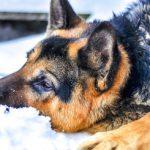 O pochodzeniu współczesnych psów