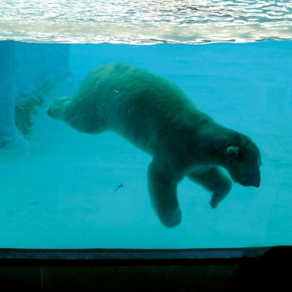 W Singapore ZOO karmienie niedźwiedzia zaaranżowane jest jako show dla zwiedzających, w trakcie którego można nie tylko podziwiać nurkującego, pływającego i szukającego pokarmu olbrzyma, który przez większą część dnia jest znacznie mniej aktywny, ale i dowiedzieć się wielu ciekawych faktów o życiu tych zwierząt.