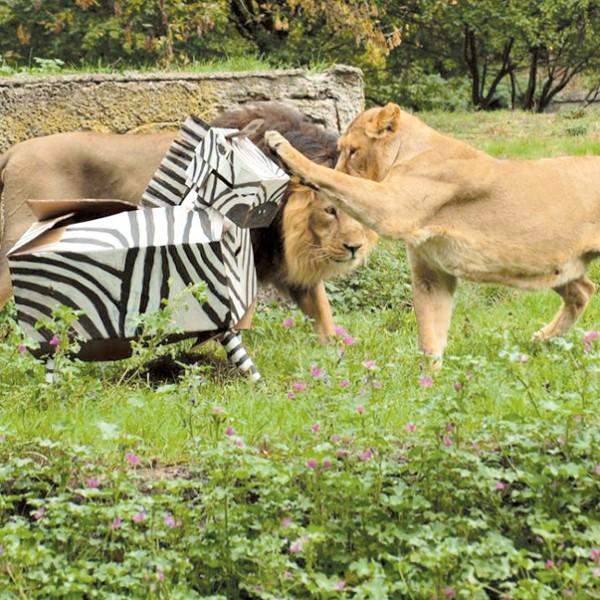 Maksimus i Chaya, azjatyckie lwy z łódzkiego zoo, polują na swoją pierwszą kartonową ofiarę (fot. lek. wet. Izabela Piórkowska).