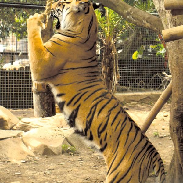 """Lina, bambus, alpacze bobki i tyle radości. Tygrysica Shilla z Batu Secret ZOO w Indonezji """"walczy"""" z wyimaginowaną ofiarą."""