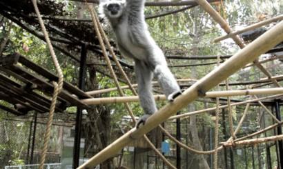 Przygotowując wystrój klatek nadrzewnych małp, należy brać pod uwagę sposób, w jaki poruszają się wśród gałęzi. Poruszające się za pomocą brachiakcji gibony najlepiej będą czuły się w przestronnych wolierach z wieloma poziomo zawieszonymi na znacznej wysokości gałęziami.