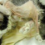 Kontaktowe zapalenie skóry u psów i kotów