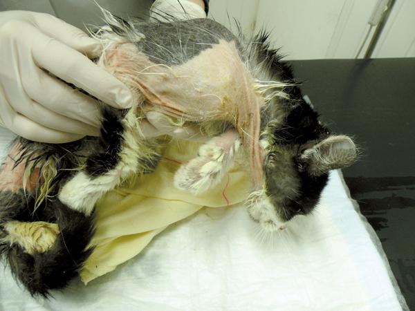 Fot. 5. Kot z KZS. Widoczne rozległe wyłysienia, nieznaczny rumień oraz nadżerki i strupy. Przyczyną reakcji był kontakt z olejem silnikowym.