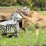 Zebra z kartonu