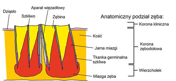 Fot. 1b. Schematyczny podział zęba. Opis w tekście.