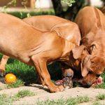 Żywienie psów ras olbrzymich