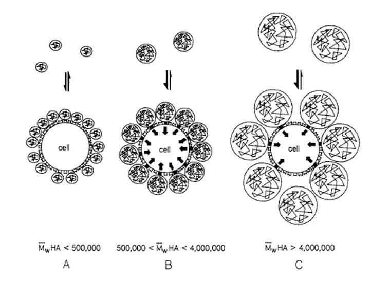 Rys. 3. Model wiązania kwasu hialuronowego (HA) z receptorami powierzchniowymi synowiocytów. A – małe cząsteczki HA wiążą się słabo i nie pobudzają biosyntezy endogennego HA; B – średnie cząsteczki pobudzają jednocześnie dużą liczbę receptorów, stymulując produkcję HA; C – duże cząsteczki HA ograniczają liczbę dostępnych miejsc wiązania na powierzchni komórki i nie powodują stymulacji.