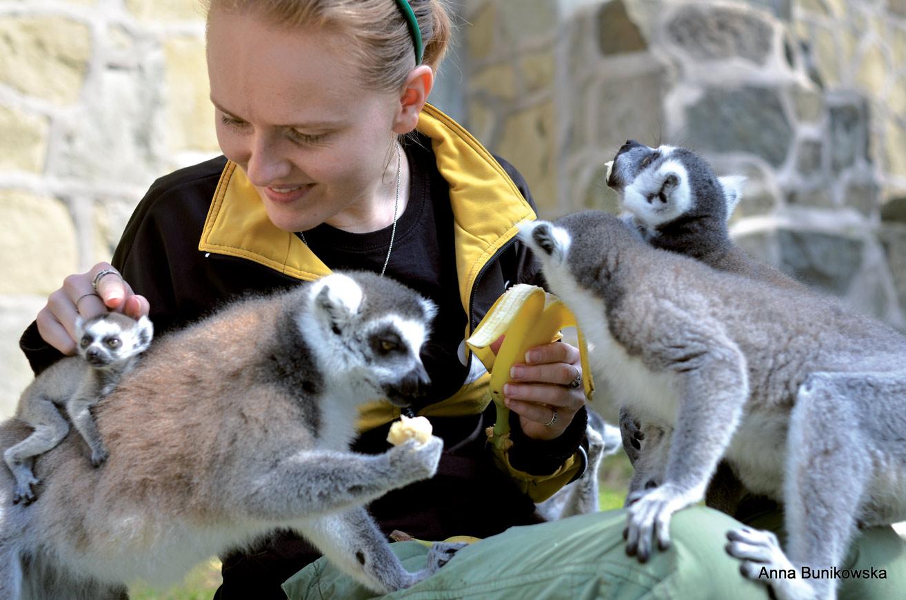 Codzienne podawanie lemurom smakołyków z ręki pomogło opiekunom zdobyć zaufanie zwierząt.