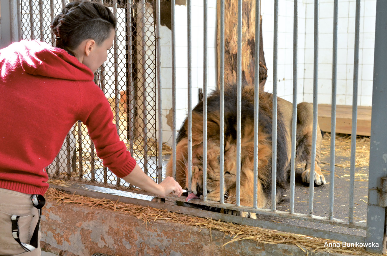 Lwy dostają nagrodę po każdym poprawnie wykonanym zadaniu, gdy przejdą do pozycji leżącej.
