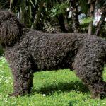 Barbet  – francuski pies wodny