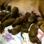 Problemy w rozrodzie psów rasowych