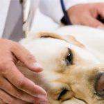 Zastosowanie Canine Brief Pain Inventory w praktyce klinicznej u psów z przewlekłym bólem – przegląd