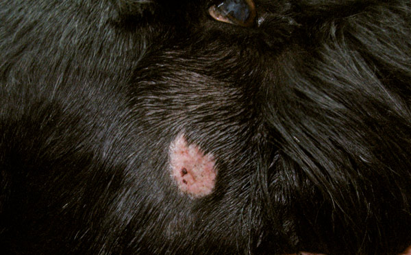 Fot. 1. Kerion u psa, na twarzy widoczny guzek.