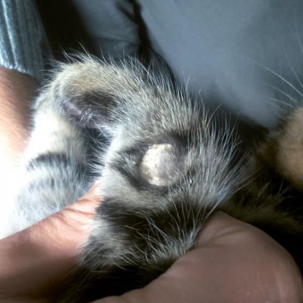 Fot. 3. Kerion u kota na przedramieniu, widoczny guzek pokryty nadmiernie zrogowaciałym naskórkiem.
