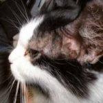 Pęcherzyca liściasta u kotów