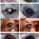 Ocena kliniczna diety nutraceutycznej jako czynnika wspomagającego leczenie farmakologiczne psów z suchym zapaleniem rogówki i spojówek