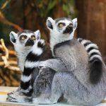 Lemury z Madagaskaru leczą się krocionogami