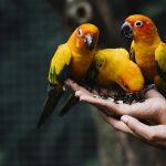 Naukowcy: inwazja papug w Polsce jest tylko kwestią czasu