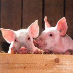 Naukowcy wesprą hodowców świń