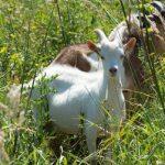 Kozy i owce z powrotem nad warszawską Wisłą