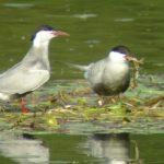Samice rybitw białowąsych zwodzą obce samce, aby zdobyć pokarm