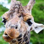 Młode żyrafy dziedziczą umaszczenie po matce