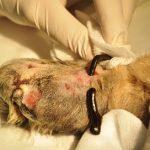 Zastosowanie pijawki lekarskiej /Hirudo medicinalis/  w leczeniu rany pourazowej łapy psa – opis przypadku