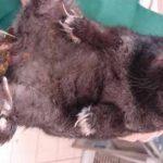 Zapalenie skóry, jako wynik niedrożności przewodu pokarmowego u królika miniaturowego