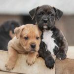 Predyspozycje do chorób u psów ras TTB