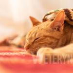 Alergia u kota – objawy, leczenie, porady