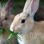 Kastracja królika