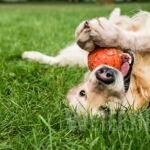 Dlaczego pies wygryza sobie sierść na grzbiecie?