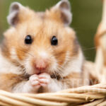Uczulenie – alergia  na świnkę morską
