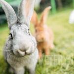 Linienie królika