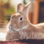 Dlaczego królik liże człowieka?